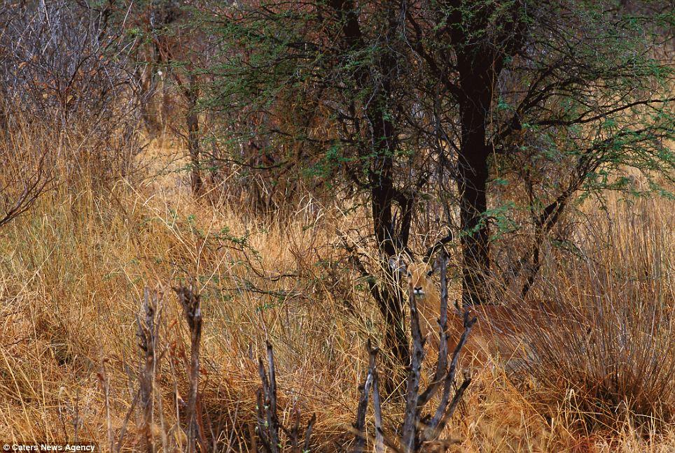 hidden-impala