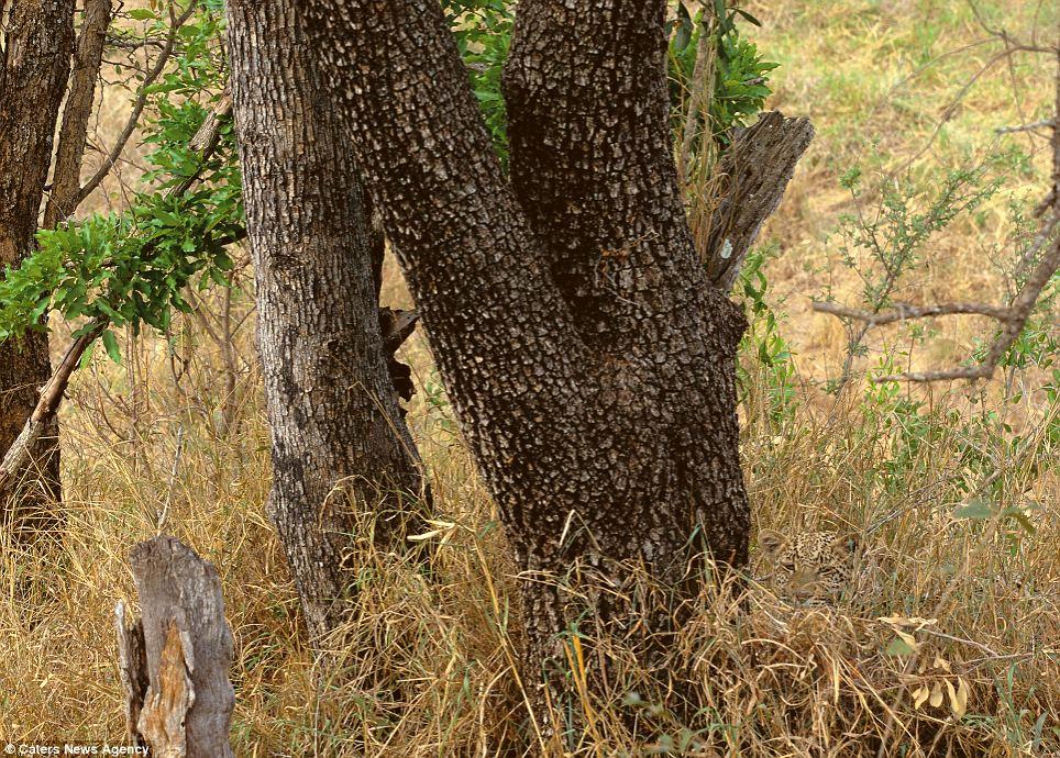 hidden-cheetah