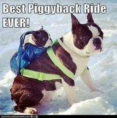 dog-piggyback